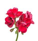 Темный - красные вверх изолированные гераниумы цветут, близкое пеларгонии стоковое фото rf