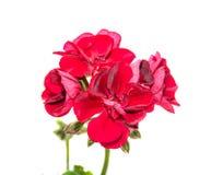 Темный - красные вверх изолированные гераниумы цветут, близкое пеларгонии стоковые изображения rf