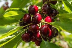 Темный - красные вишни на вишневом дереве Стоковое Изображение