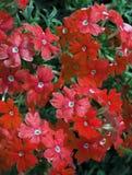 Темный - красные отставая цветки вербены Стоковая Фотография RF