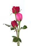 Темный - красные розы изолированные на белизне Стоковые Изображения RF