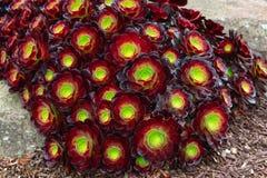 Темный - красные Succulents Aeonium Urbicum, Sempervivum Arachnoideum Робин стоковая фотография