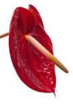 Темный - красный антуриум Стоковая Фотография