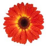 темный красный цвет gerbera стоковая фотография