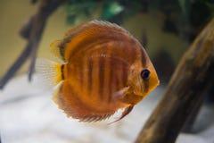 Темный - оранжевый крупный план пресноводной рыбы диска Стоковые Изображения