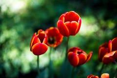 Темный - оранжевый фаворит мира тюльпанов Тюльпаны гибрида Дарвина Стоковое Изображение