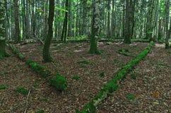 Темный пейзаж леса при солнечный свет illumining зеленая листва Стоковые Изображения RF