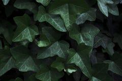 Темный плющ Плоское положение против предпосылки голубые облака field wispy неба природы зеленого цвета травы белое Стоковое Изображение