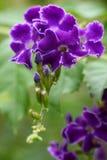 темный пурпур duranta Стоковое Фото