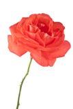 Темный - роза апельсина изолированная на белой предпосылке Стоковая Фотография