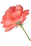 Темный - роза апельсина изолированная на белой предпосылке Стоковые Фото