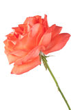 Темный - роза апельсина изолированная на белой предпосылке Стоковое фото RF