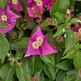 Темный розовый крупный план цветка бугинвилии Стоковое фото RF