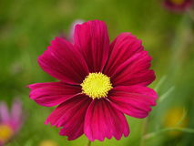 Темный розовый цветок космоса Стоковое фото RF