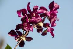 Темный розовый цветок орхидей стоковые изображения rf