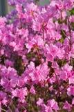 Темный розовый цветя вал Стоковое Фото