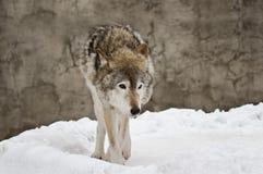 темный серый волк зимы Стоковая Фотография