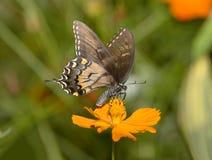темный тигр swallowtail формы Стоковая Фотография RF