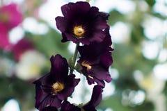 Темный фиолетовый цветок просвирника Стоковые Изображения RF