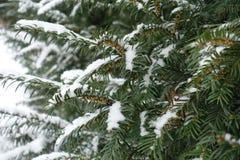 Темный ый-зелен yew разветвляет при неполовозрелые конусы покрытые с снегом Стоковое Изображение RF