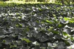 Темный ый-зелен плющ стоковое изображение