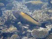 темный parrotfish Мальдивов Стоковое Фото