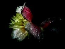 темный peony Стоковая Фотография RF