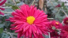 Темн-красные цветки стоковые изображения rf