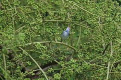 Темн-necked птица atrogularis Orthotomus Tailorbird Стоковые Фотографии RF