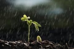 Темп роста завода от семени с идти дождь Стоковое фото RF