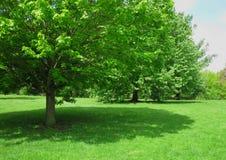 Тенистое дерево Стоковое Изображение