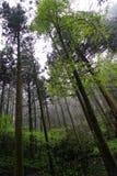Тени зеленых листьев на прямых стволах дерева и заводе в влажностном духовном лесе на дождливый день с дождевой каплей, белым меч Стоковое Фото