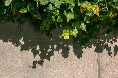 Тени плюща на стене Стоковые Изображения