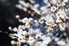 Тени слив на зеленой траве с цветением сливы Стоковые Фотографии RF