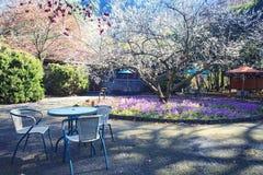 Тени слив на зеленой траве с цветением сливы Стоковое Фото