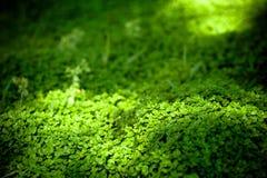 тени dichondra светлые Стоковые Фотографии RF