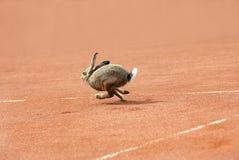 теннис зайцев суда Стоковые Фотографии RF