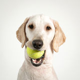 Теннис собаки Стоковая Фотография