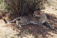 тень гепарда отдыхая Стоковое фото RF