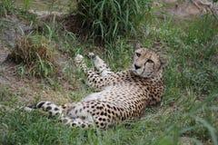 тень гепарда отдыхая Стоковое Изображение
