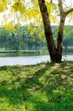 Тень желтого цветения дерева фистулы кассии Стоковые Изображения