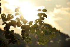Тень лист на времени захода солнца Стоковые Фотографии RF