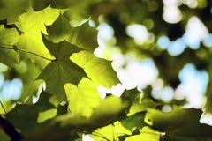 Тень кленового листа падает на другой кленовый лист на предпосылке o Стоковое Изображение