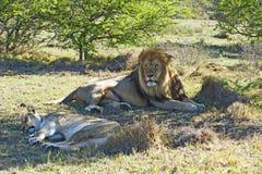 тень львов Стоковое Изображение RF