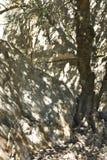Тень оливкового дерева Стоковое Изображение