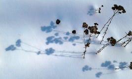 Тень сухого завода на снеге Стоковое фото RF