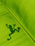 Тень лягушки на лист банана текстура предпосылки пастбища банана Стоковая Фотография