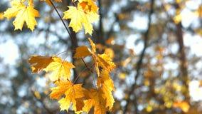 Теплый солнечный свет светя через золотые листья осени акции видеоматериалы