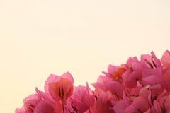 Теплая бугинвилия Стоковые Фото