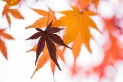 Теплый цвет тона кленового листа и ветви Стоковая Фотография